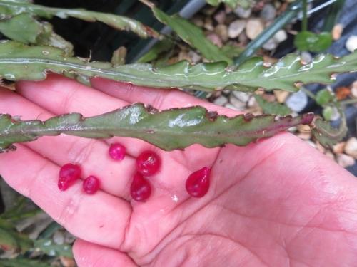 レピスミウム・クルシフォルメ(白花)、赤い実がなっています。潰してみると~2020.10.07