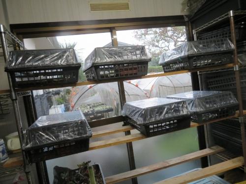 サボテン、メセン他、実生苗発芽済み~未発芽)台風14号避難、作業部屋に取り込みました。2020.10.07