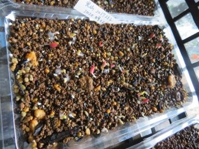 レウクテンベルギア・光山、2017年の自家採取種子のを今年2020.09.22にまいておきました。避難場所(プレハブ内)でかなりもやし発芽しています。2020.10.10