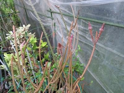 ペニオセレウス・ストリアータス(Peniocereus striatus)今年はたくさん花芽が上がっていたのに、見逃してしまいました(ToT)/~~~2020.10.10