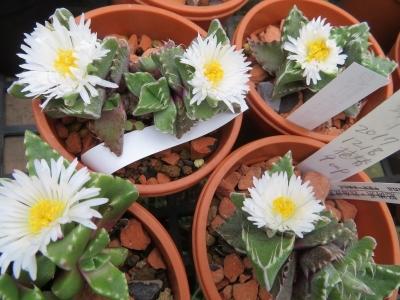 フォーカリア・雪波(白花)午前中は蕾でしたが、夕方4時頃キレイに咲いています♪2020.10.11
