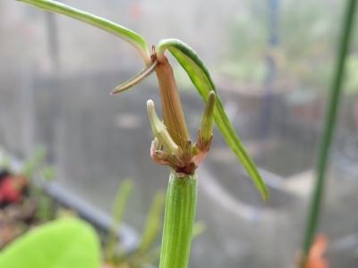セロペギア・ディコトマ(斑入り)久々に花芽ができています♪2020.10.11