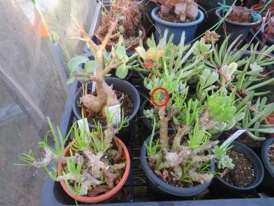 セネシオ・ラティキペス(Senecio laticipes)目覚めて地味な花芽ができていました♪2020.10.12