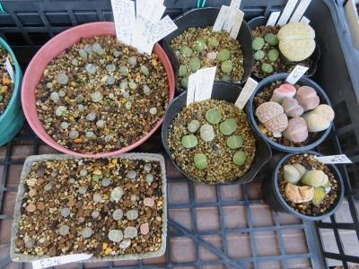 リトープス(自家採取種子)、たくさん実生して植え替えした苗、うまく育っていません(T_T)2020.09.21に植え替えしました。2020.10.12