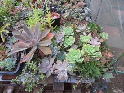 多肉植物挿し木苗、日照不足な梅雨から10月でしたが、最近、徒長色ボケも収まり元気になってきました♪2020.10.14
