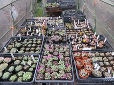 コノフィツム、リトープス、2020年は天候不良でうまく育てられませんでした。それなりに開花時期を迎えています。2020.10.14