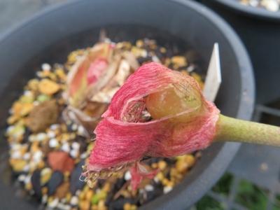 赤花マユハケオモト(花芽が先、、葉が後に生える、落葉タイプ)コショコショしておくと種子①ができました。2020.10.14