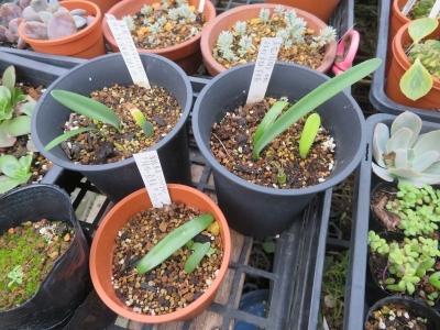 赤花マユハケオモト、自家採取種子実生苗(今年、2020年2月発芽確認苗)は常緑苗がこれしか残っていません。2020.10.14