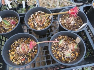 赤花マユハケオモト(落葉タイプ)花芽が先に出てその後葉が茂るタイプ。今年3球根花が咲きました。ここに種子ができました。2020.10.14