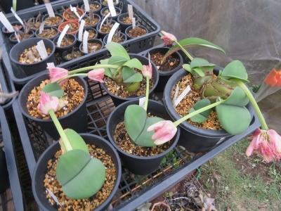 赤花マユハケオモト(常緑葉タイプ)虫に食われ常緑葉がほぼなくなってしまいましたが、新葉が復活しています。良かった~。この花にも種子ができて欲しい。2020.10.14