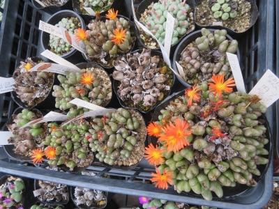 コノフィツム・円空(筋模様と色目のある)オレンジ花開花中♪たくさん群生株~2020.10.19