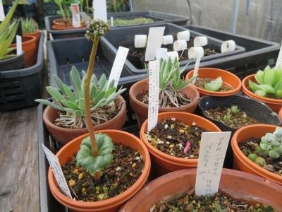 クラッスラ・サキシフラガ(Crassula saxifrga=capensis)夏休眠から目覚め、花芽が伸びてきました。2020.10.20