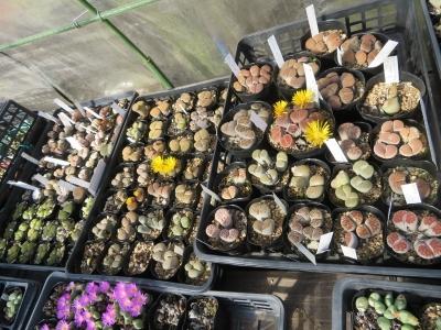ホムセン入手のリトープスが開花し始めました。2020.10.21