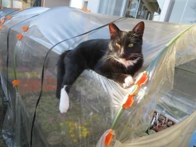 白靴下を履いた黒猫ちゃん(野良♂)今年4月生まれの里親出戻りちゃん、簡易ビニールハウスの上でくつろいでいます♪2020.10.21