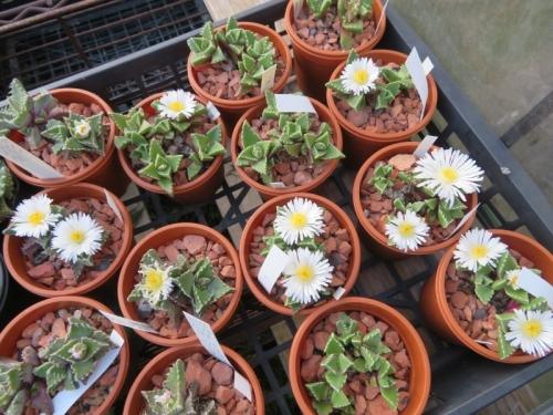 フォーカリア・雪波(白花)夕方4時頃たくさん咲いています♪2020.10.22