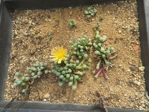 フェネストラリア・ベビートゥ、こぼれ種実生苗開花始まり、チタノプシスも生えています。2020.10.26