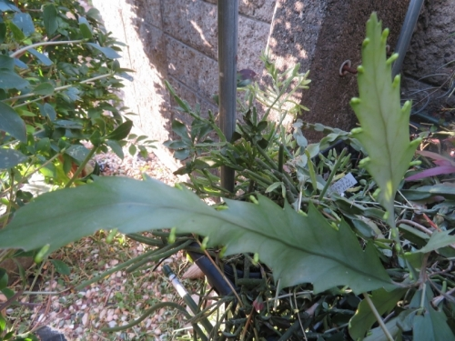 リプサリス・花柳、かなり薄い茎節たくさん花芽が付きました。秋咲き~2020.10.26
