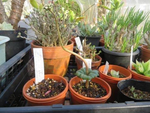 冬型多肉植物、クラッスラ・サキシフラガ、花芽と葉の10月末の姿~2020.10.27