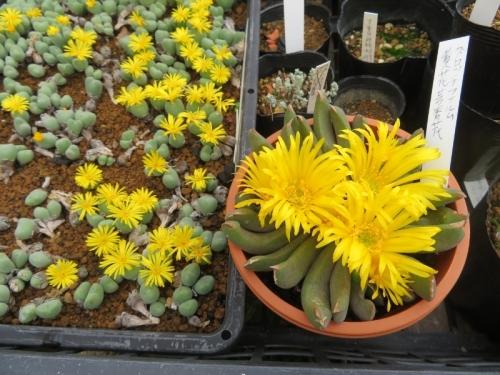 グロッチフィルムの大輪花(右)、挿し木した黄色花コノフィツム(左)2020.10.28