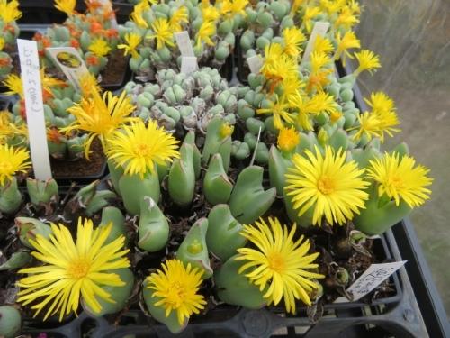 コノフィツム・ビロバムは体も花もかなり大きい♪2020.10.28