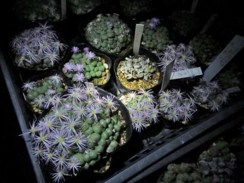 コノフィツム・フィシフォルメ、夜咲芳香花、真っ暗な中、満開花中~2020.10.28