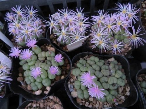 コノフィツム・フィシフォルメ、2種類のピンク色花違いはこんな感じ~♪2020.10.29