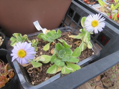 斑入り葉ダルマ菊、挿し木苗、ハモグリバエの食害で葉を取り除きました。みすぼらしくなりましたが開花しています。2020.10.30