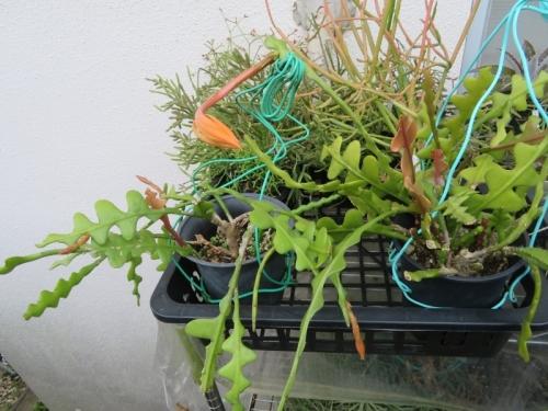 エピフィルム・アングリガー(白眉孔雀)花芽が幾つも上がっています♪2020.11.02