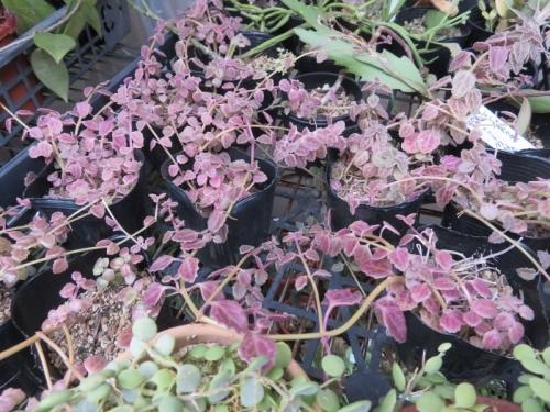 プレクトランサス・コレウス、低温に当たり赤く紅葉しています♪2020.11.02