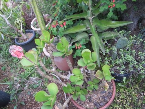 コチレドン・紅覆輪、地面に鉢事置いて大株になっています。一か所だけ花芽ができ咲いています♪2020.11.02