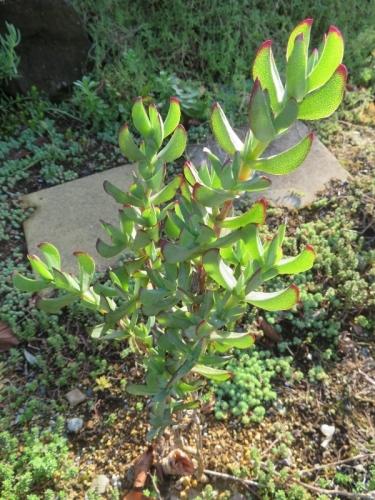 エレプシア・千歳菊、庭植えしていますが、最近新枝の生育が良くない感じです。2020.11.03