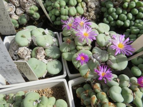コノフィツム・雨月、淡ピンク花(大型コマ型)後ろの群碧玉と比べますとかなり大粒です♪2020.11.05