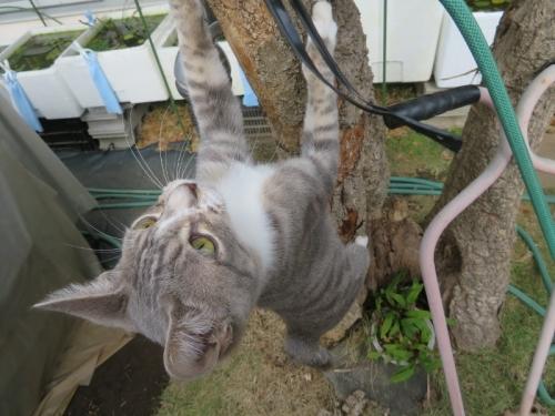 簡易ビニールハウス内に、近所の子猫が・・・来てしまった\(-o-)/ニオイシュロランの木に登って遊んでる~、2020.11.06