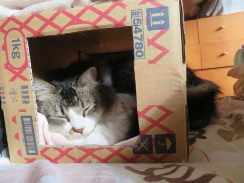 噛み猫イズコちゃん♪富士子ちゃんの箱を奪って尻隠さず昼寝ちゅ~♪2020.11.06