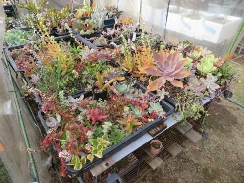 多肉挿し木苗(育苗バット)カラフルに紅葉しつつありますが、クラッスラ・赤鬼城、火祭りの花が、モヤッと匂います(ToT)2020.11.06