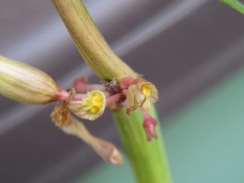 セロペギア・ディコトマ斑入り(Ceropeia dichotoma variegata)花先端が尖り纏まった部分を剥がしてみますとキレイに咲きました。ついでに花を剥いて交配してみました。2020.11.07