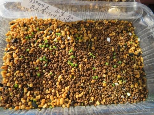 レピスミウム・クルシフォルメ(赤実)2020.10.07にとりまきしました。屋外ハウス内で発芽しています。2020.11.08