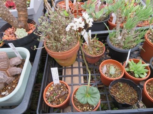 クラッスラ・サキシフラガ(Crassula saxifrga=capensis)冬型種、夏休眠から目覚め、葉と花芽が伸び開花しました♪2020.11.07