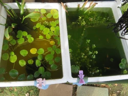屋外メダカビオトープ(ビフォ~)今年春から孵化したメダカちゃんたち、濃ゆい青水でそこまで見えなひぃ~2020.11.08