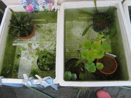 屋外メダカビオトープ今年春から孵化したメダカちゃんたち、キレイに水替えアフター♪2020.11.10