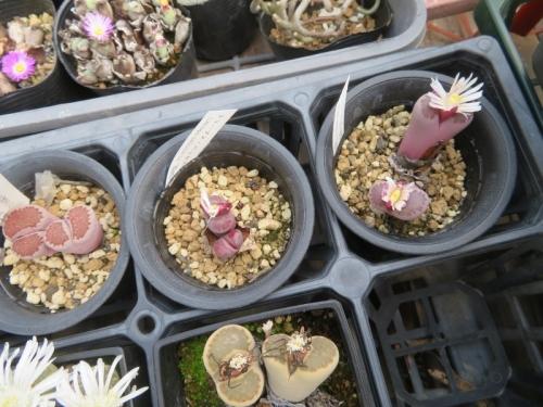 リトープス・バッカス(紫李夫人)生育不良で花が未成熟な感じ~2020.11.11