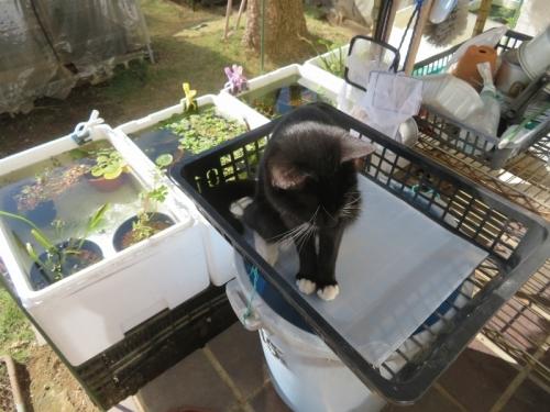 白靴下を履いた黒ノラ猫ちゃん♪メダカ溜水の上でくつろぎます♪2020.11.11