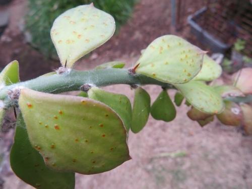 キリン団扇の葉の中に赤い虫がいるようです(ToT)/~~~これ何虫~ひぃ~2020.11.12