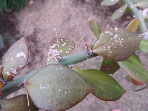 キリン団扇の葉の中に赤い虫がいて孵化して葉を食べているようです(ToT)/~~~これ何虫~ひぃ~2020.11.12
