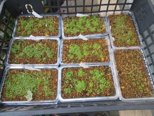リトープスの古い自家採取種子を種蒔きしました。2020.09.22その後~2020.11.12