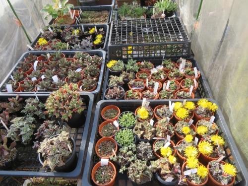 フォーカリア怒涛系、黄色花、実生苗など、雪波(白花)の後咲き始めました。2020.11.13