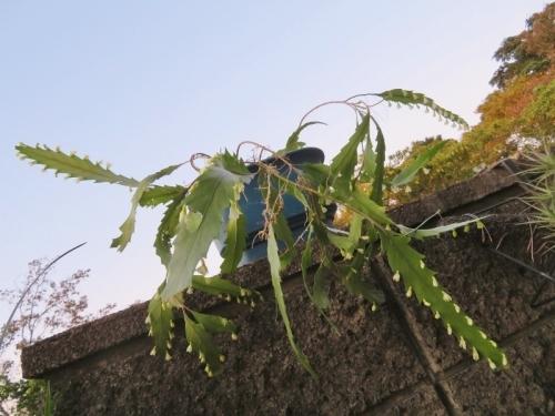 リプサリス(レピスミウム)・花柳 ふと見ると夕方4時半過ぎでも満開花しています♪2020.11.14