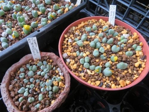 コノフィツム・オビゲルム(黄色花)(昔からある苗)植え替えして②③、水やりしました♪来年の今ごろ2分頭してどれだけ増えるか楽しみです♪2020.11.15