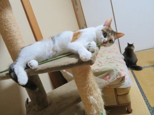 三毛富士子ちゃん、タワーで横たわり休憩中♪。タヌキの様なイズコちゃん後ろ姿♪2020.11.15