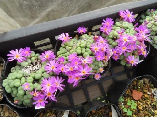 コノフィツム・ペアルソニー小型玉型美ピンク花♪ポットいっぱいに分頭して開花中。2020.11.16